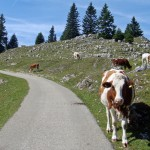Jura Cow