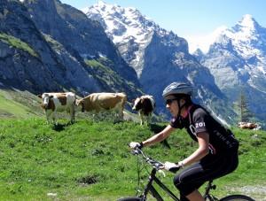 Eiger Cows