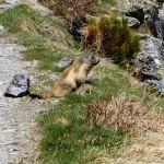 A Marmotte